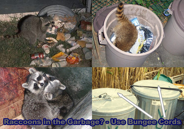 How To Get Rid Of Raccoons In The Garbage Cans